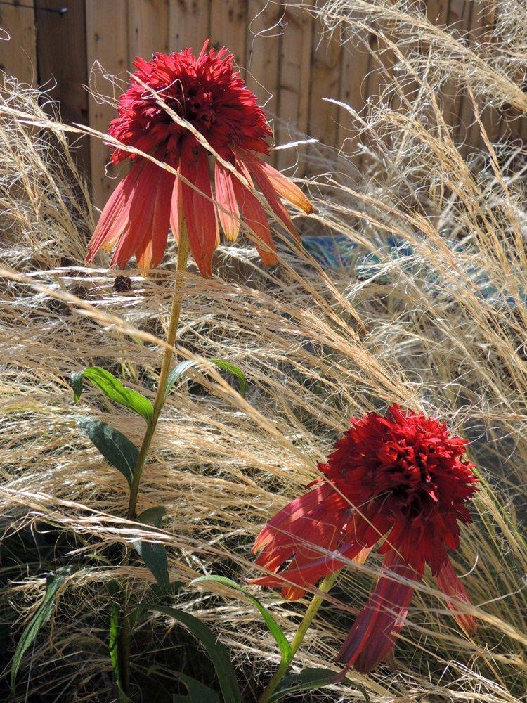 Echinacea 'Intermezzo'